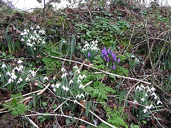 English: Snowdrops and crocuses Pictured along...