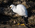 Snowy Egret enjoying its catch (26467942059).jpg