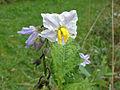 Solanum carolinense 03897-43.jpg