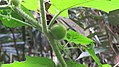 Solanum lasiocarpum - Indian nightshade at Kappimala, Alakode (1).jpg