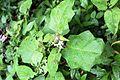 Solanum torvum - El Yunque nat park PR IMG 2131.JPG