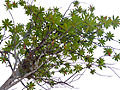 Somah or Cicada Tree (Ploiarium alternifolium) (15765607505).jpg