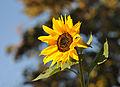 Sonnenblume Kloster Kamp cropped.jpg