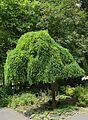 Sophora japonica 'Pendula' in July J1.jpg