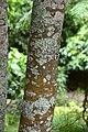 Sophora microphylla in Auckland Botanic Gardens.jpg