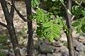 Sorbus aucuparia in Jardin Botanique de l'Aubrac 10.jpg
