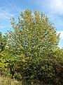 Sorbus torminalis sl17.jpg