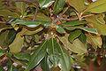 Southern Magnolia Leaf Cluster 3008px.jpg