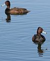 Southern Pochard, Netta erythrophthalma, at Marievale Nature Reserve, Gauteng, South Africa (28800953214).jpg
