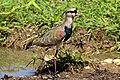 Southern lapwing (Vanellus chilensis cayennensis).jpg
