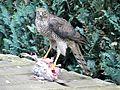Sparrowhawk strikes a pigeon.jpg