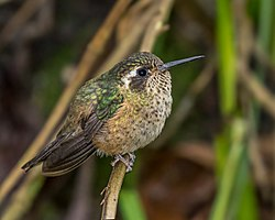 Speckled Hummingbird (24126410550).jpg