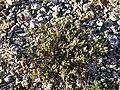 Spergularia marina sl47.jpg
