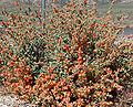 Sphaeralcea ambigua 4.jpg