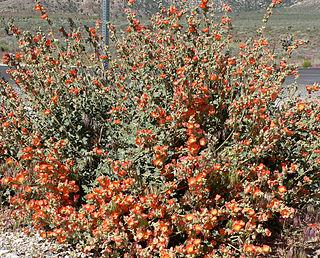 <i>Sphaeralcea</i> genus of plants