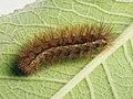 Spilarctia lutea (larva) - Buff ermine (caterpillar) - Медведица быстрая (гусеница) (42682898610).jpg