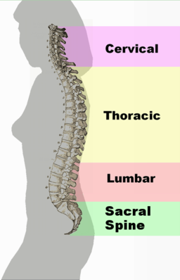 Referred pain - Spinal column curvature 2011