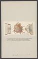 Spondylus - Print - Iconographia Zoologica - Special Collections University of Amsterdam - UBAINV0274 005 04 0035.tif