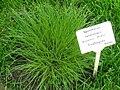 Sporobolus heterolepis - Berlin Botanical Garden - IMG 8612.JPG
