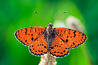 Spotted Fritillary - Side 2.jpg