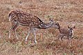 Spotted deer (Axis axis) mother with newborn.jpg