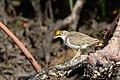 Spotted sandpiper, nonbreeding, in mangrove (24135701981).jpg