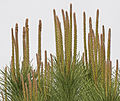 Spring shoots of a stone pine.jpg