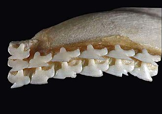 Spiny dogfish - Image: Squalus acanthias upper teeth
