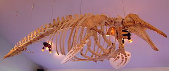 Beluga whale - Skeleton of D. leucas