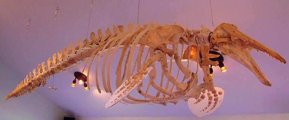 Squelette Delphinapterus leucas rdl