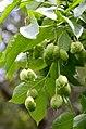 Staphylea pinnata (7335497974).jpg