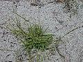 Starr-010520-0084-Sporobolus pyramidatus-habit-Abandoned runway-Kure Atoll (24532773915).jpg