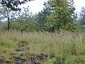 Starr-011205-0114-Hyparrhenia rufa-habit-Hwy11 Kapapala-Hawaii (24435646952).jpg