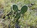 Starr-021209-0023-Opuntia ficus indica-habit-Lahaina Pali Trail-Maui (24445323062).jpg