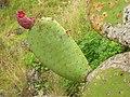 Starr-051122-5389-Opuntia ficus indica-fruit-Haleakala Ranch-Maui (24756148281).jpg