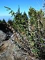 Starr-051224-8618-Pellaea ternifolia-habit-Polipoli-Maui (24222450244).jpg