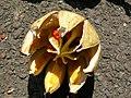 Starr-060922-9154-Clusia rosea-fruit-Kahului Airport-Maui (24839471676).jpg