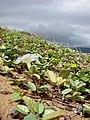 Starr-060928-0389-Ipomoea imperati-habit and flower-Keopuolani Park-Maui (24748510262).jpg