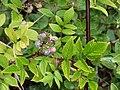 Starr-070908-9331-Rubus niveus-form b fruit stems thorns and leaves-Polipoli-Maui (24525434339).jpg