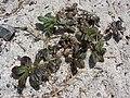 Starr-080531-4823-Euphorbia hirta-habit-Bravo barracks Sand Island-Midway Atoll (24283932063).jpg