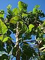 Starr-081031-0362-Phaseolus vulgaris-habit-Makawao-Maui (24808652592).jpg