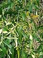 Starr-090421-6212-Olea europaea subsp cuspidata-fruit and leaves-Pukalani-Maui (24584689279).jpg