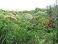 Starr-090610-0594-Mangifera indica-red and green leaves-Haiku-Maui (24870714681).jpg