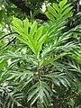 Starr-090623-1642-Artocarpus altilis-leaves-National Tropical Botanical Garden Kaeleku-Maui (24967039825).jpg