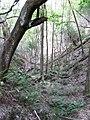 Starr-091115-1191-Aleurites moluccana-grove with palapalai understory-Olinda-Maui (24359420854).jpg