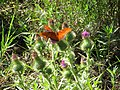 Starr-091115-1234-Cirsium vulgare-flowering habit with passion vine butterflies-Olinda-Maui (24621535019).jpg