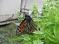 Starr-101228-6048-Ocimum basilicum-Monarch butterfly Danaus plexippus visiting flowers-Honokanaia-Kahoolawe (24966082381).jpg