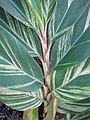 Starr-110209-0742-Alpinia zerumbet-variegated leaves-Resort Management Group Nursery Kihei-Maui (24706859299).jpg