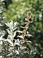 Starr-110215-1252-Conocarpus erectus-flowers and leaves-KiHana Nursery Kihei-Maui (25075951615).jpg