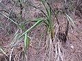 Starr-120229-3038-Dianella sandwicensis-habit-Waikapu Valley-Maui (25043151011).jpg